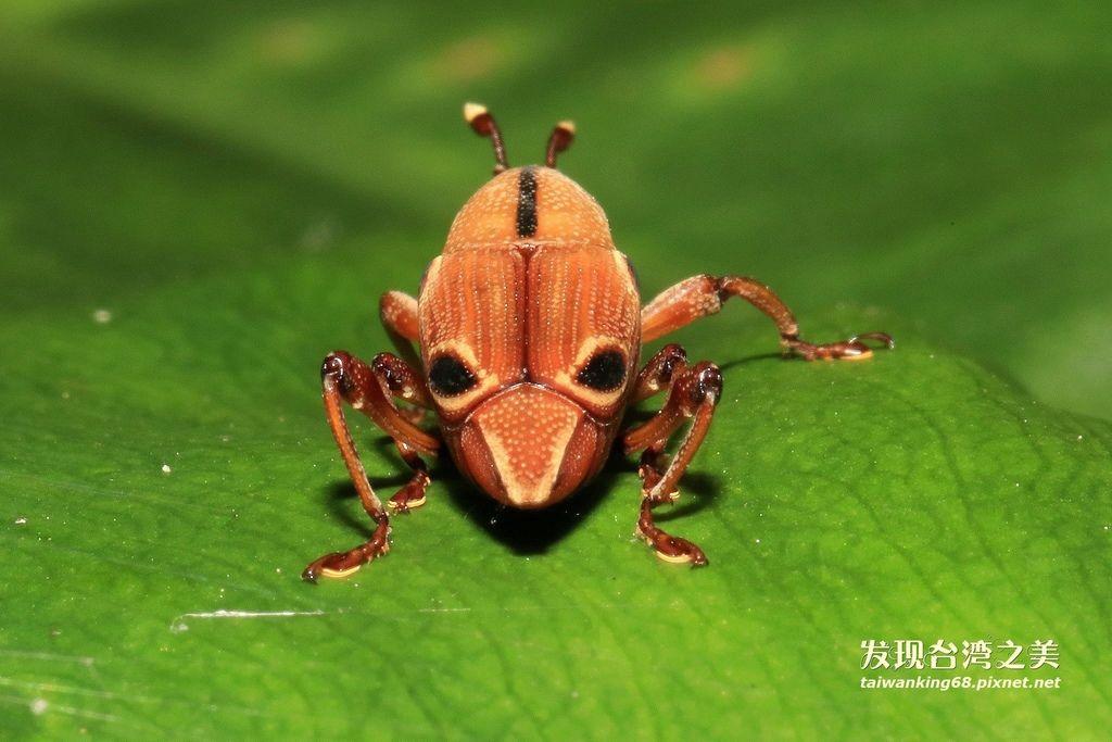 四紋象鼻蟲