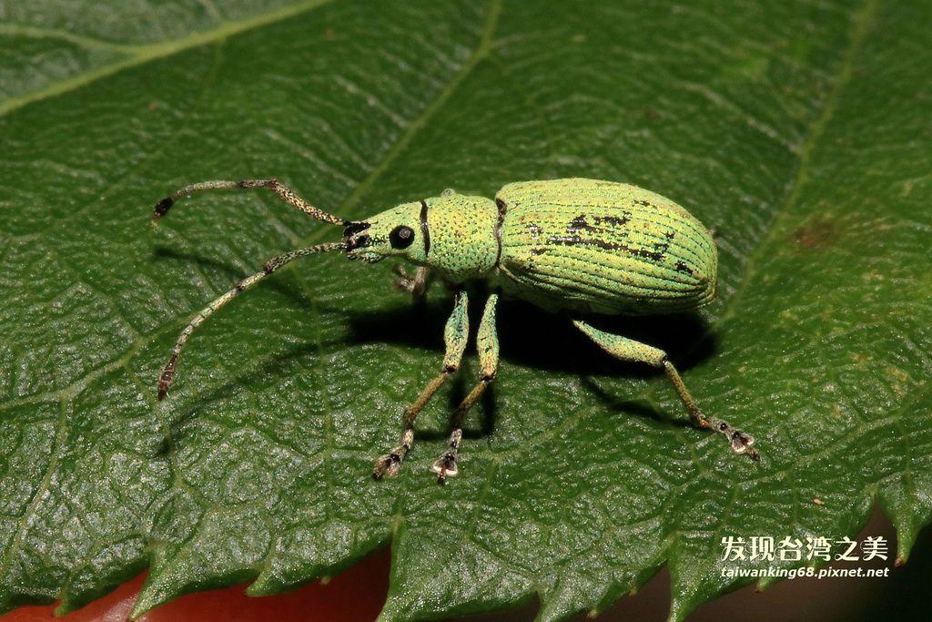 綠色象鼻蟲