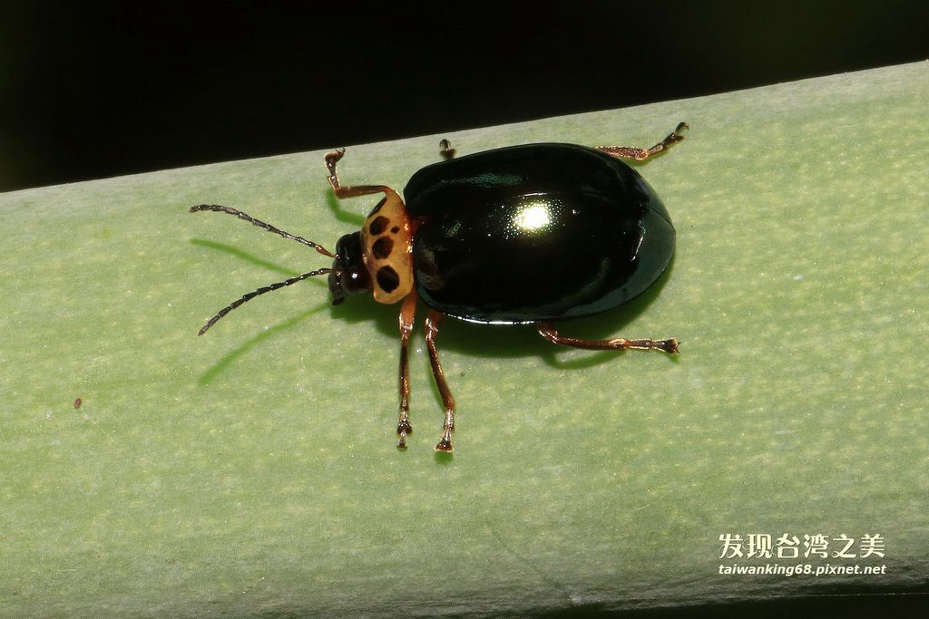 榕四星螢金花蟲