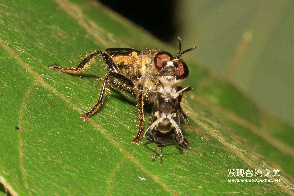 食蟲虻捕食