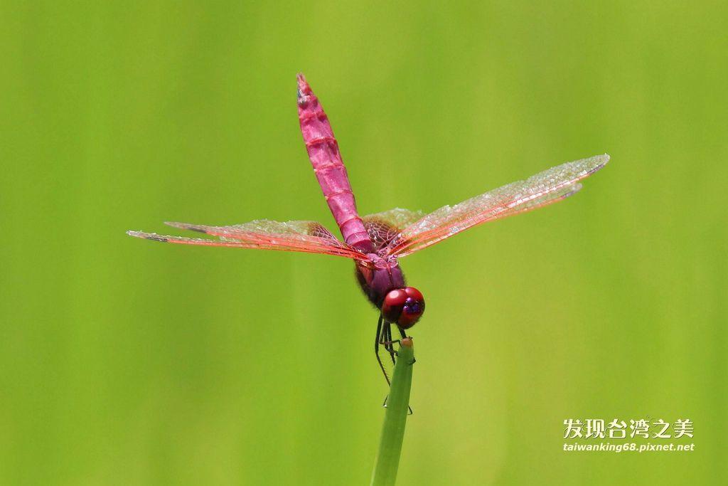 褐基蜻蜓(雄)