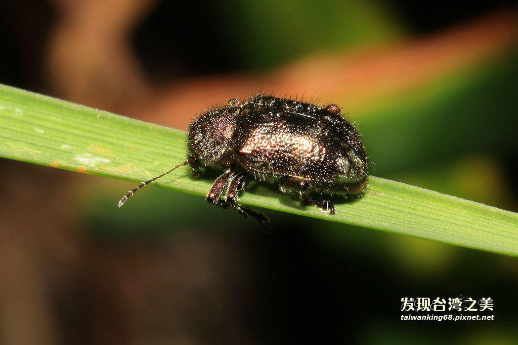 台灣金毛猿金花蟲
