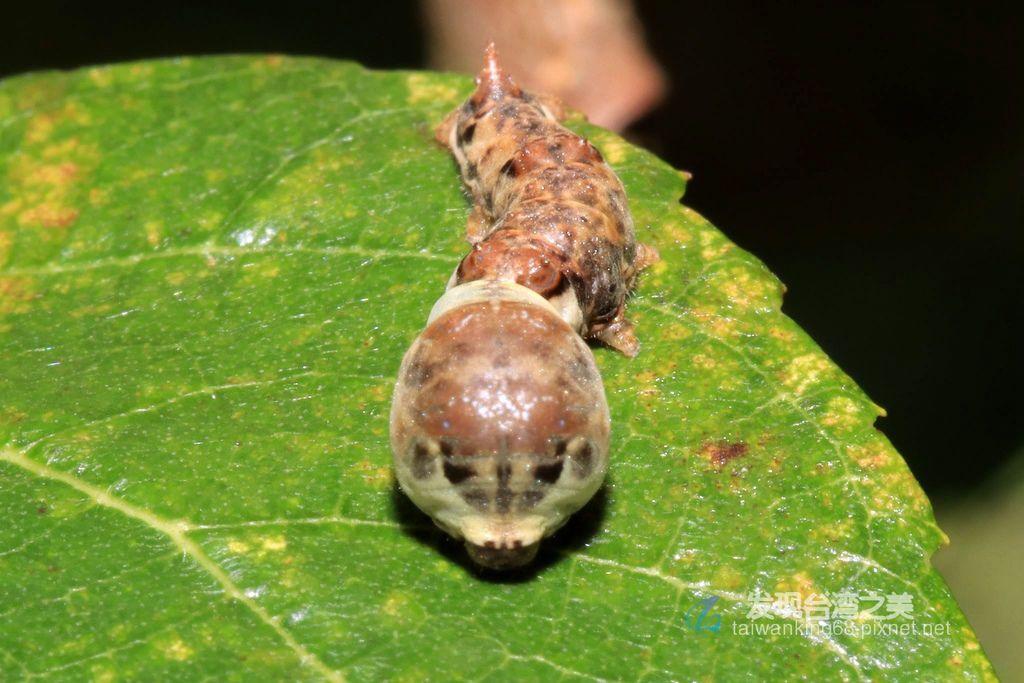 野蠶蛾幼蟲