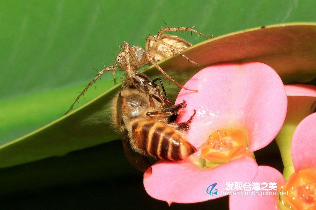 斜紋貓蛛捕捉蜜蜂