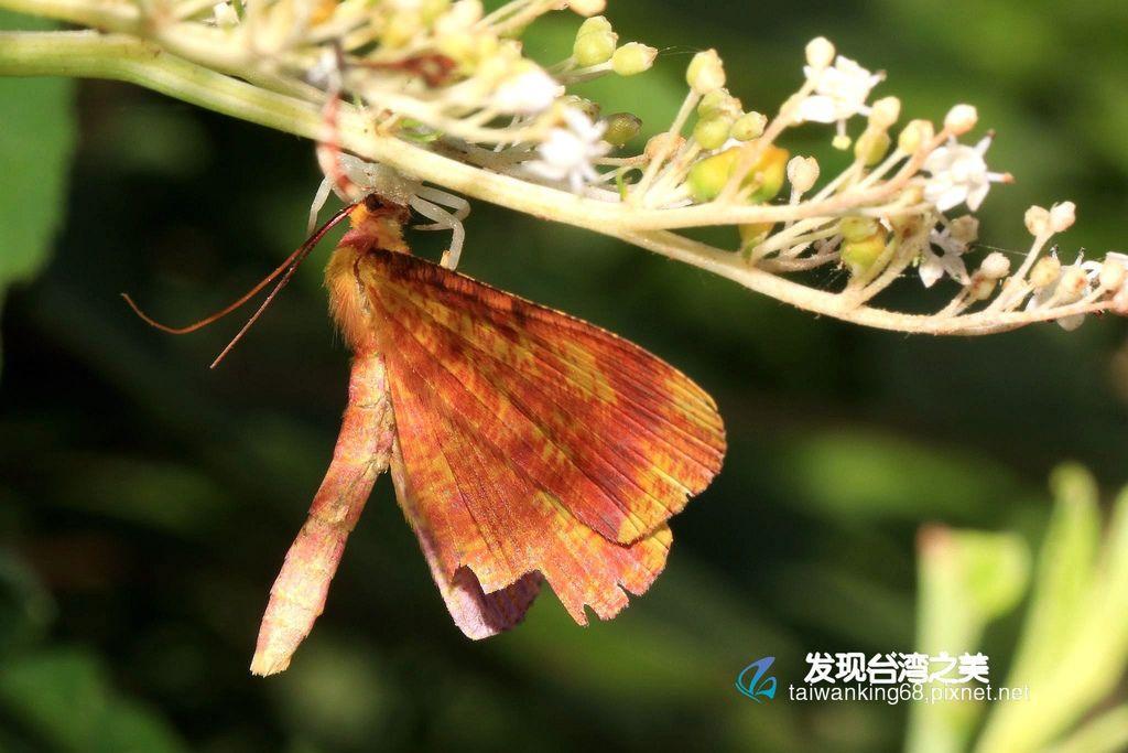 黃粉尺蛾(雄)