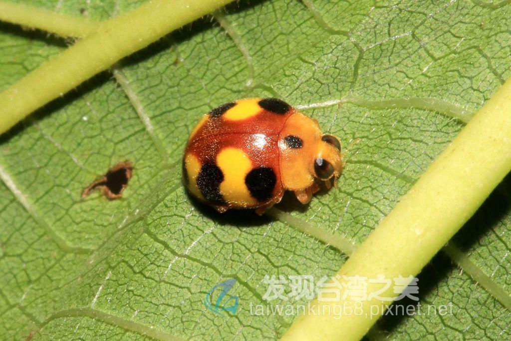 台灣三色瓢蟲