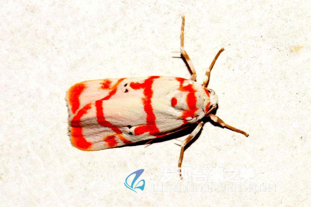 二斑紅緣苔蛾 (雄)