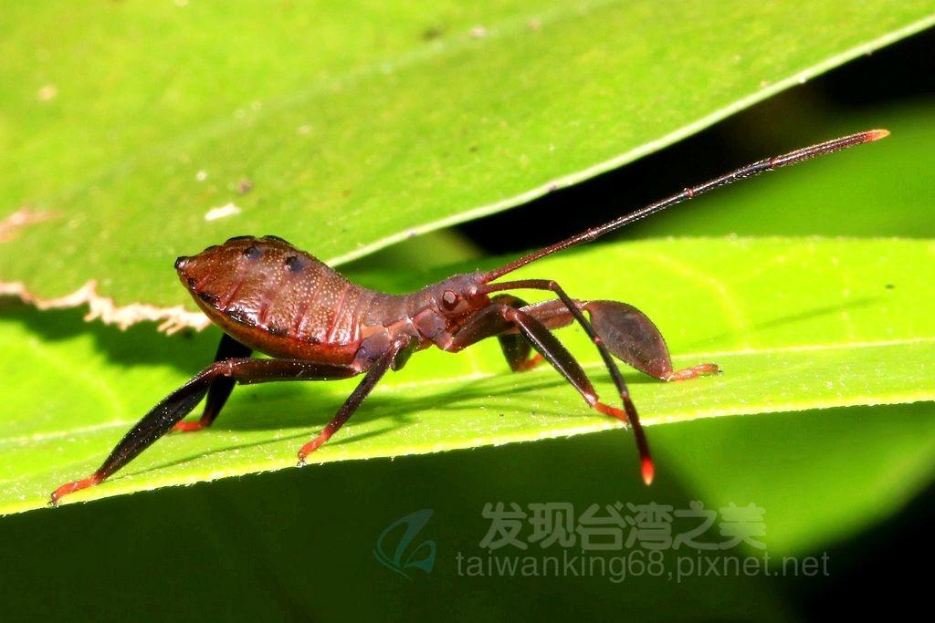 黃脛巨緣椿(若蟲)