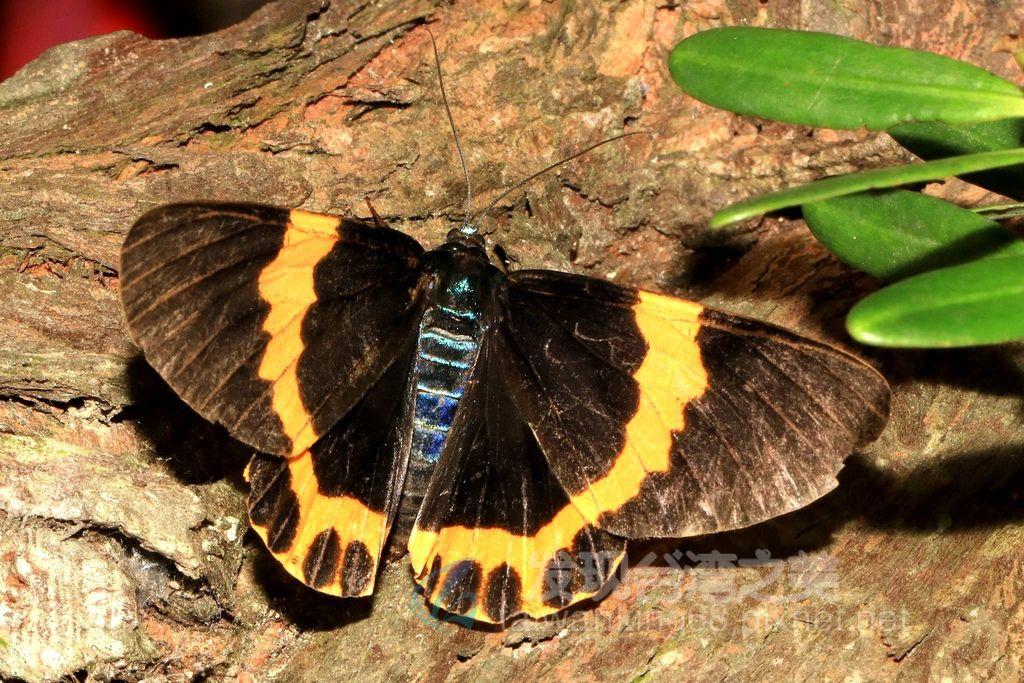 黃帶枝尺蛾(橙帶藍尺蛾)