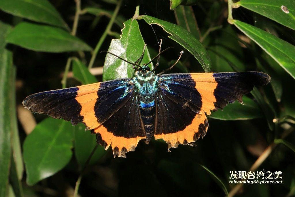 黃帶枝尺蛾 (橙帶藍尺蛾)