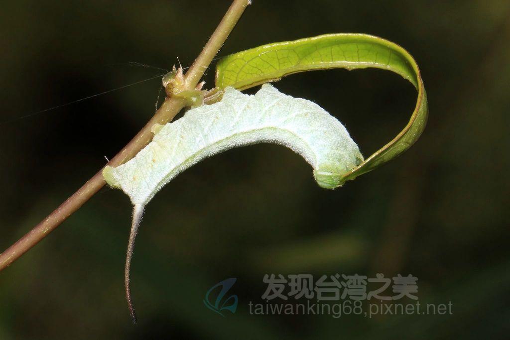 長尾巴的天蛾幼蟲