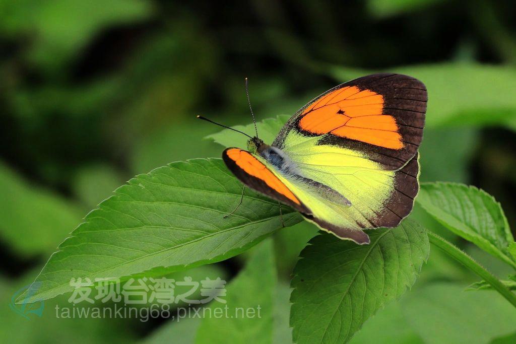 異粉蝶(雌白黃蝶)