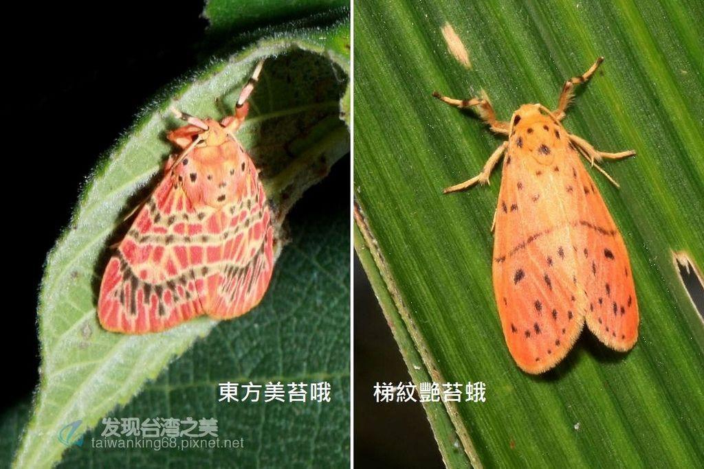 東方美苔蛾與梯紋豔苔蛾