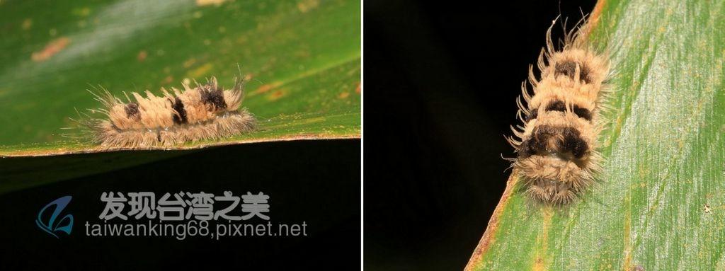 梯紋豔苔蛾幼蟲