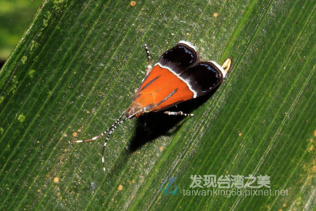 旋蛾(待分類)