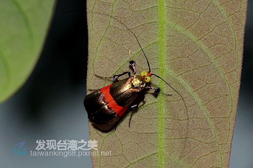 鑲黃帶長角蛾