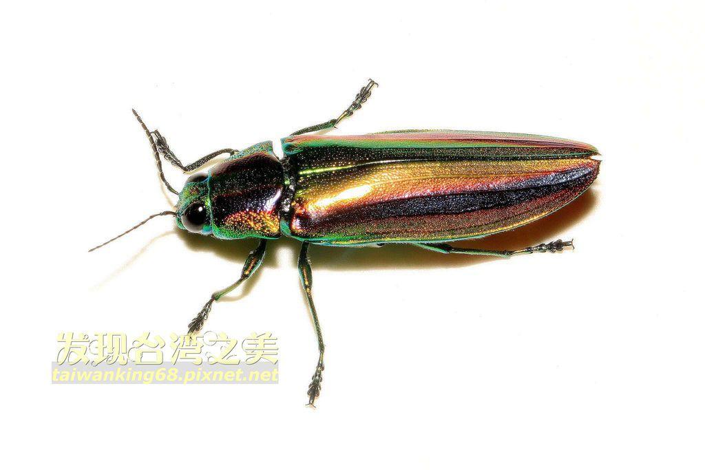 彩虹吉丁蟲