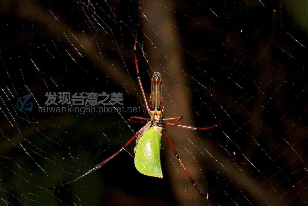 人面蜘蛛與綠瓢蠟蟬