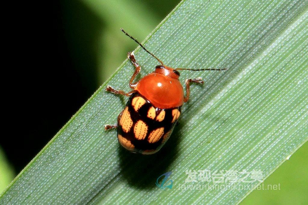 白斑筒金花蟲