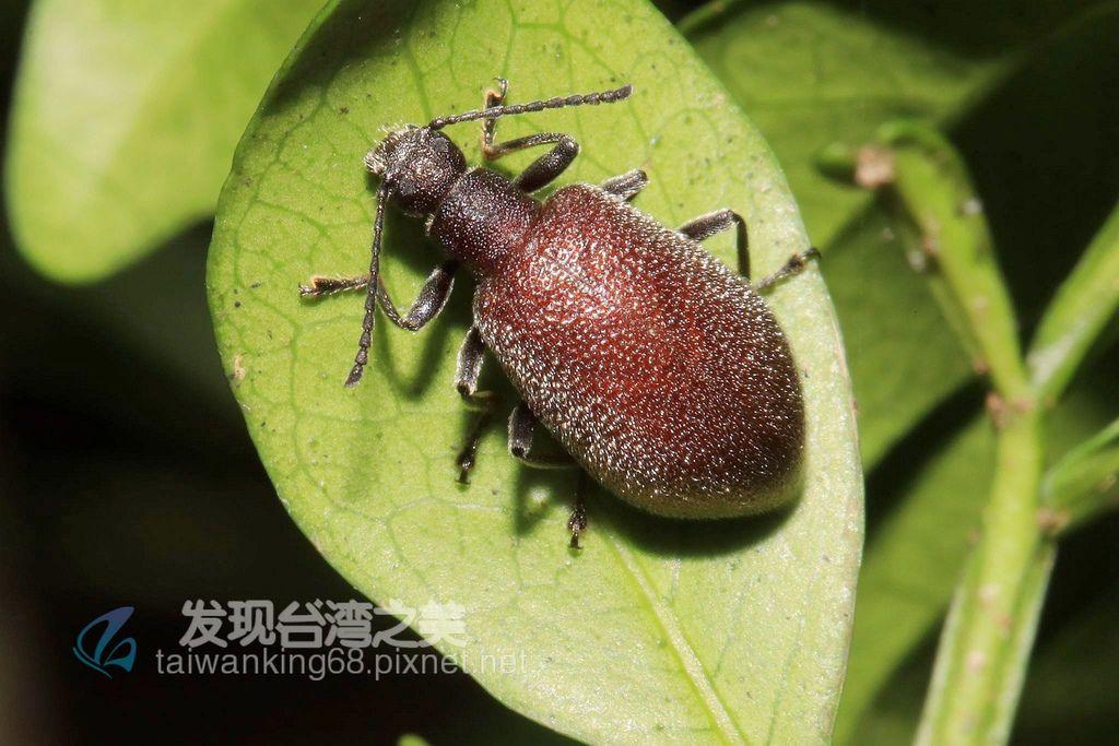 大擬金花蟲