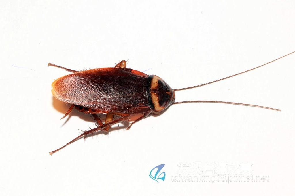 德國蟑螂、美洲蟑螂與澳洲蟑螂