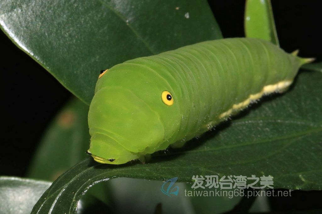 青斑鳳蝶幼蟲