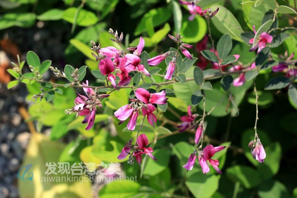 胡枝子紫花