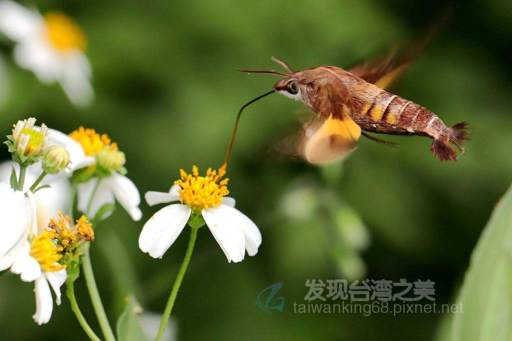 小長喙天蛾