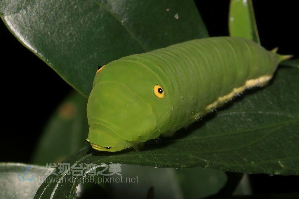 青斑鳳蝶終齡幼蟲