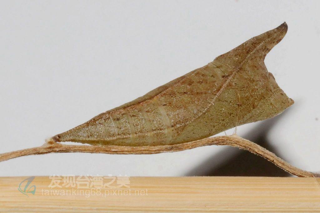 青斑鳳蝶蛹