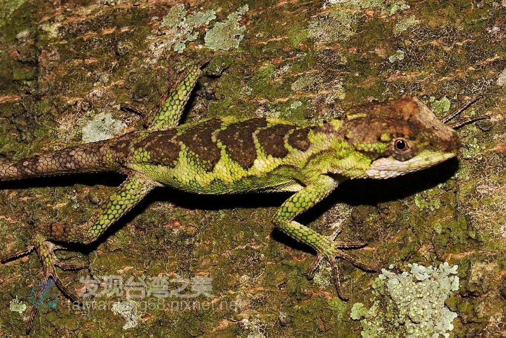 台灣原生種變色龍–短肢攀蜥