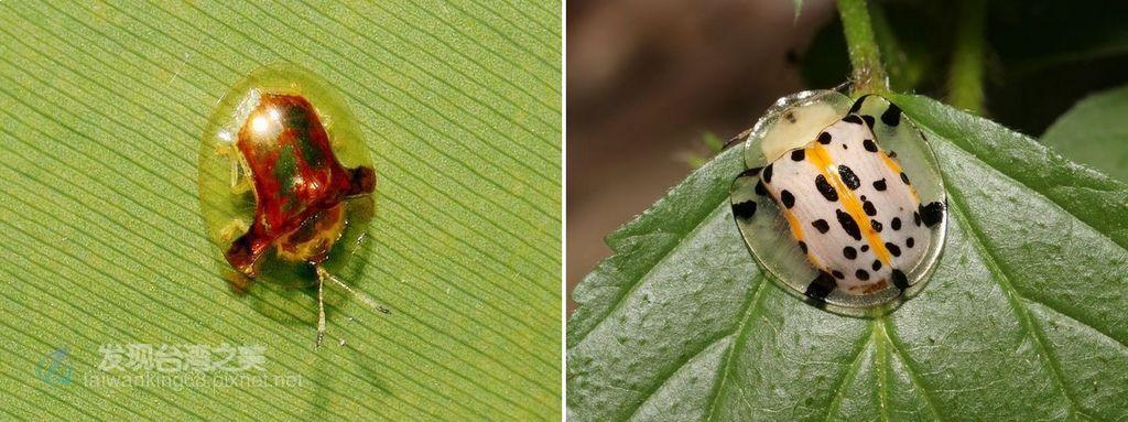 金盾龜金花蟲與大黑星龜金花蟲