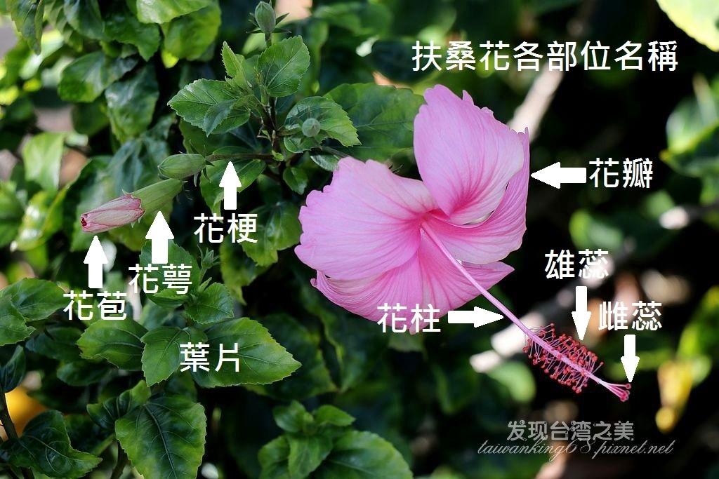 粉蝶與扶桑花