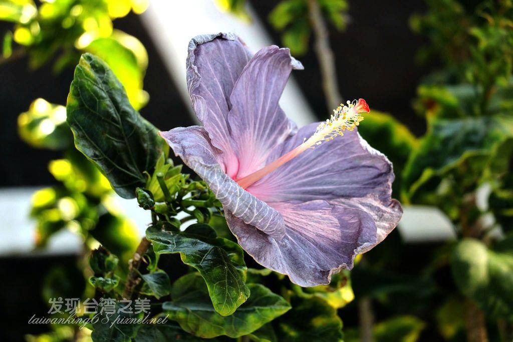Formosa黑紫扶桑花
