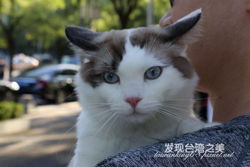 北京的寵物貓