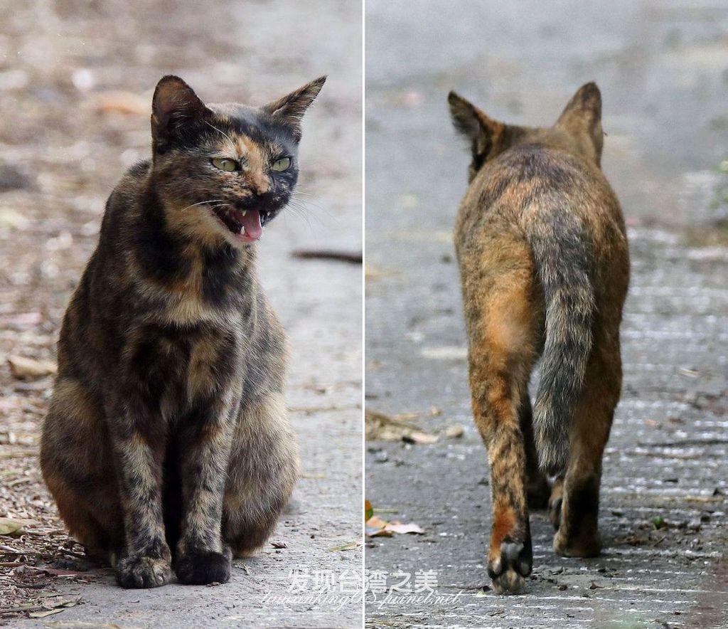 沙皮貓(サビ猫)