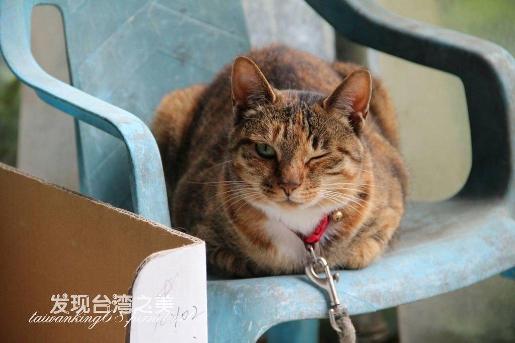 中國狸花貓