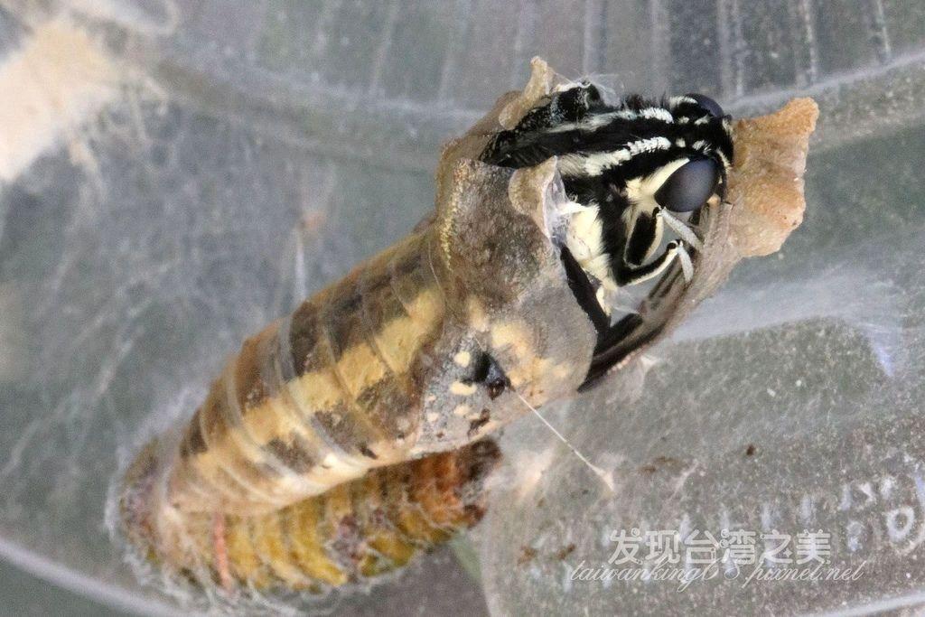 破蛹而出的無尾鳳蝶