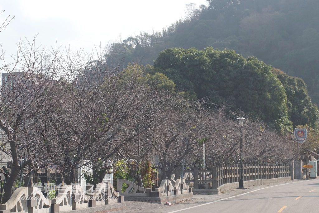 2020/01/15泰安派出所櫻花花況