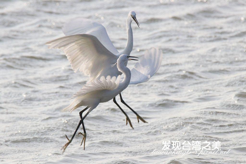 比翼雙飛的大白鷺