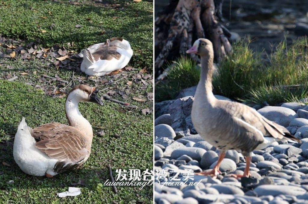 台灣土鵝與小白額雁