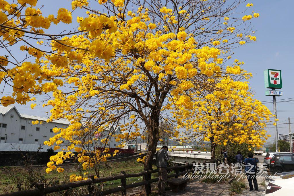 2020彰化芬園黃花風鈴木