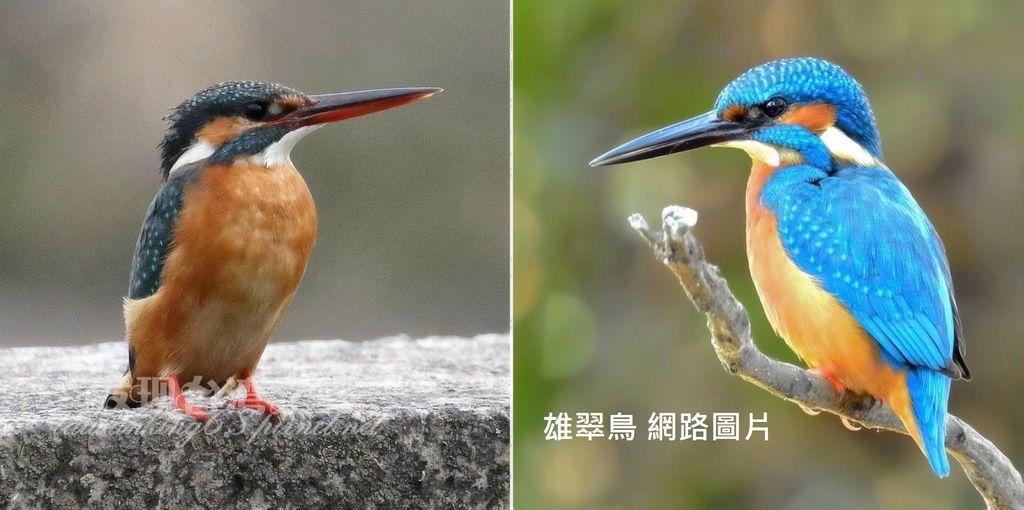 翠鳥_20200228