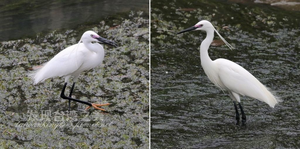 繁殖期頭上有飾羽的小白鷺_20200228