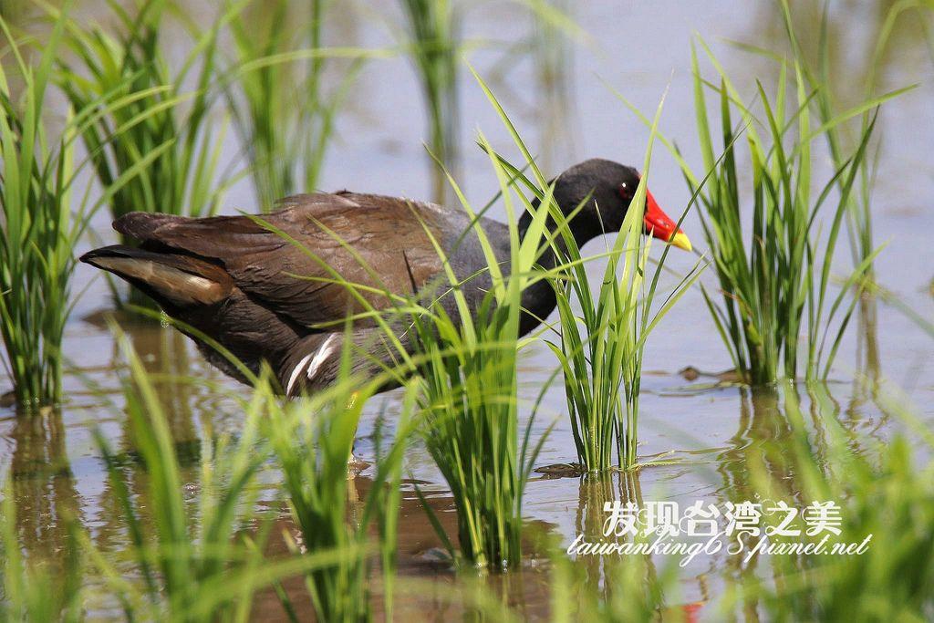 紅冠水雞_20200315