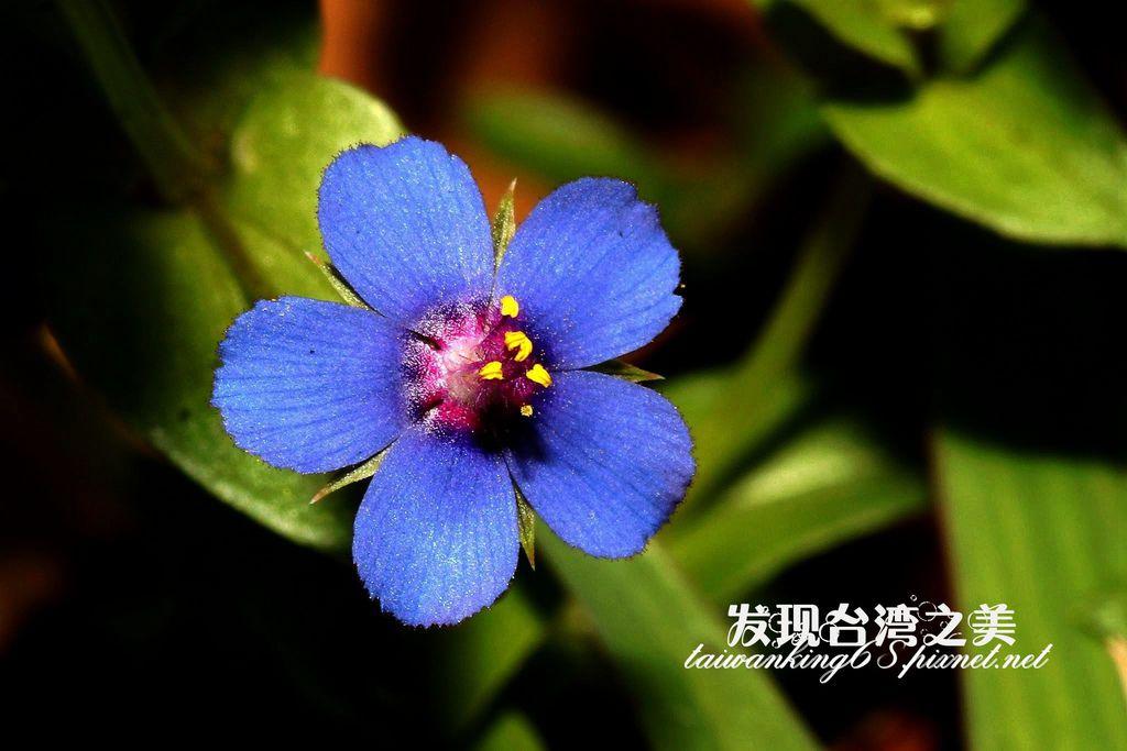 藍花琉璃繁縷