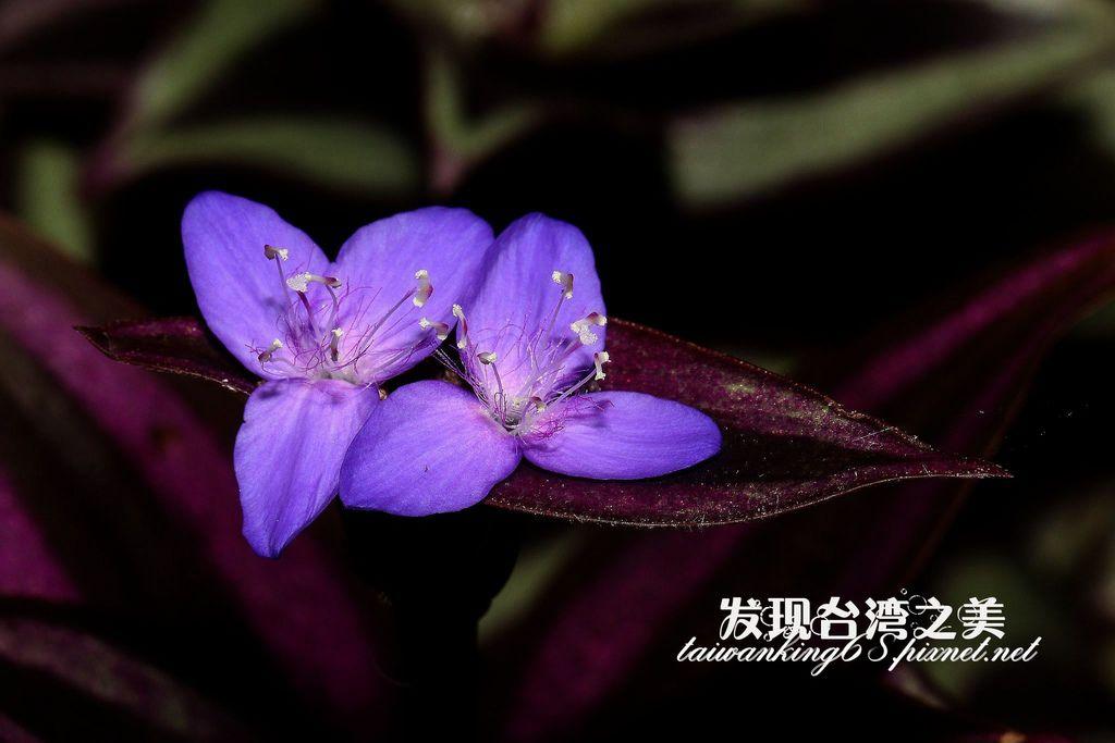 紫背鴨跖草