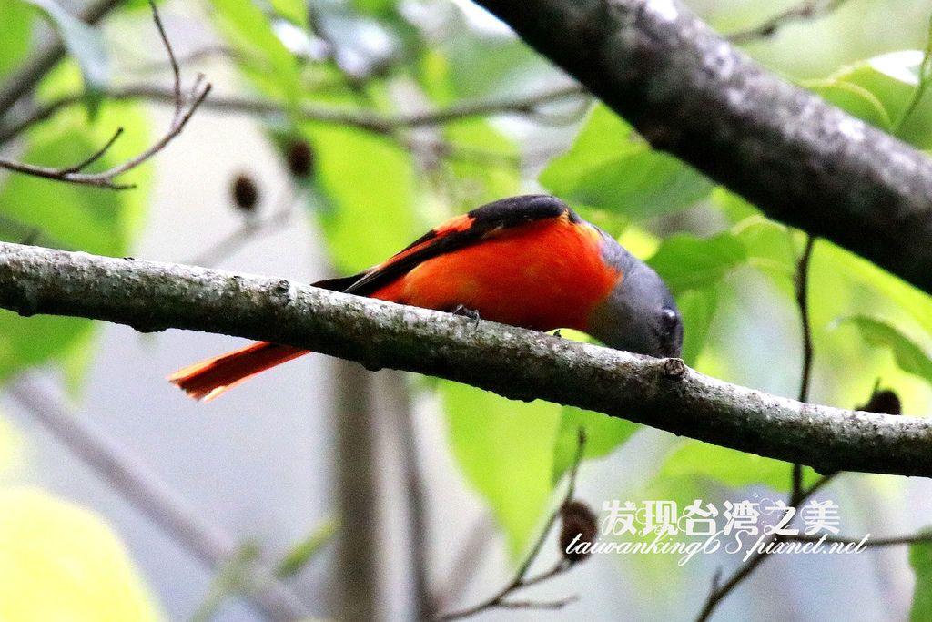 灰喉山椒鳥