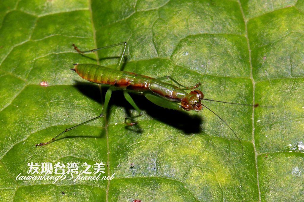 綠大齒螳若蟲
