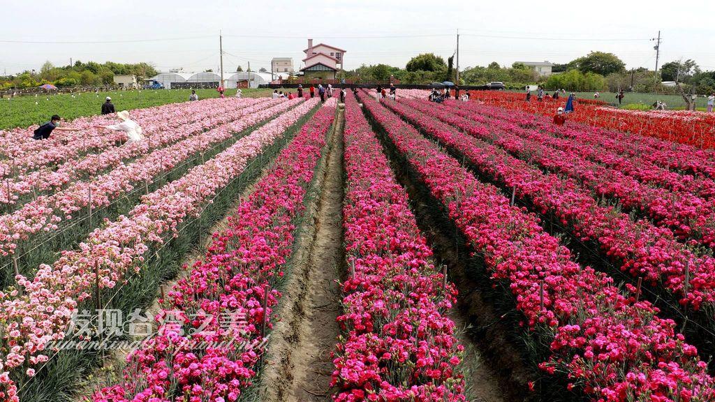 彰化田尾康乃馨花園